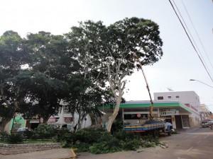 Corte de Árvore na Praça do Pirulito em Três Pontas 7