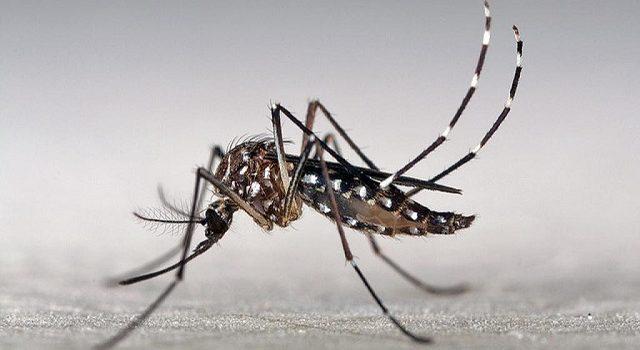 Aedes aegypti é o mosquito transmissor da Dengue e da Febre Amarela Urbana
