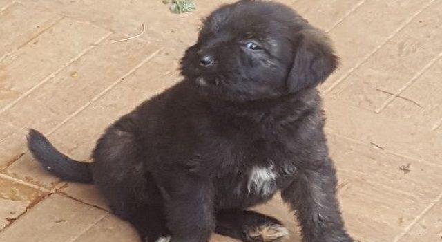 Cachorrinha preta