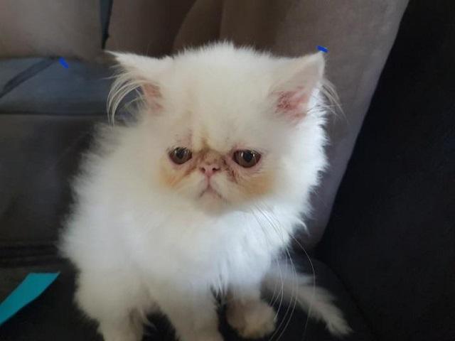 Gatinho Branco Fred desaparecido em Três Pontas